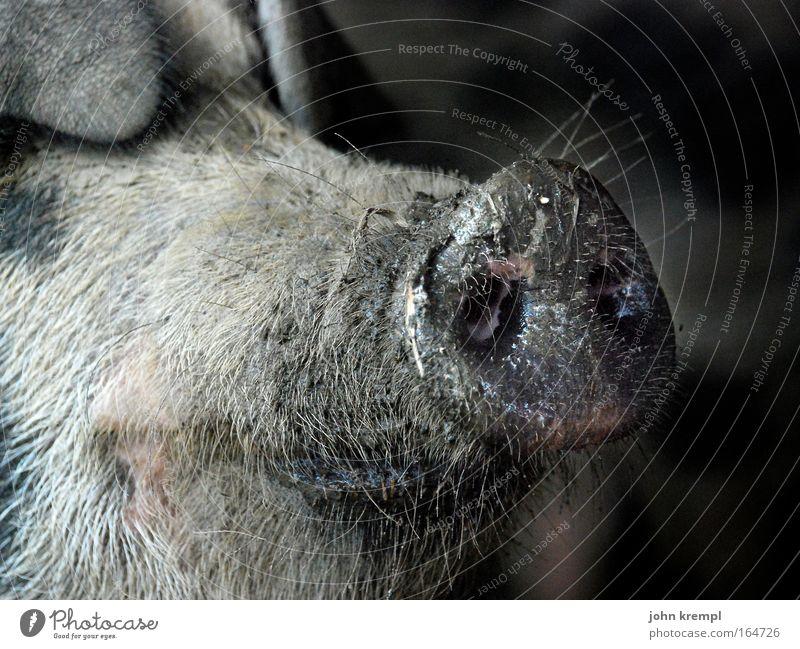 lieber grippchen als rippchen Farbfoto Gedeckte Farben Außenaufnahme Textfreiraum rechts Textfreiraum oben Tierporträt Nutztier Schwein 1 Lächeln Ekel exotisch
