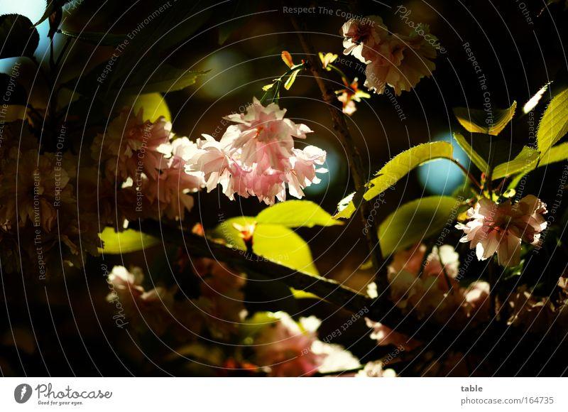lichtblick Farbfoto Außenaufnahme Menschenleer Sonnenlicht Gegenlicht Umwelt Natur Pflanze Frühling Schönes Wetter Baum Blatt Blüte Zierkirsche ästhetisch