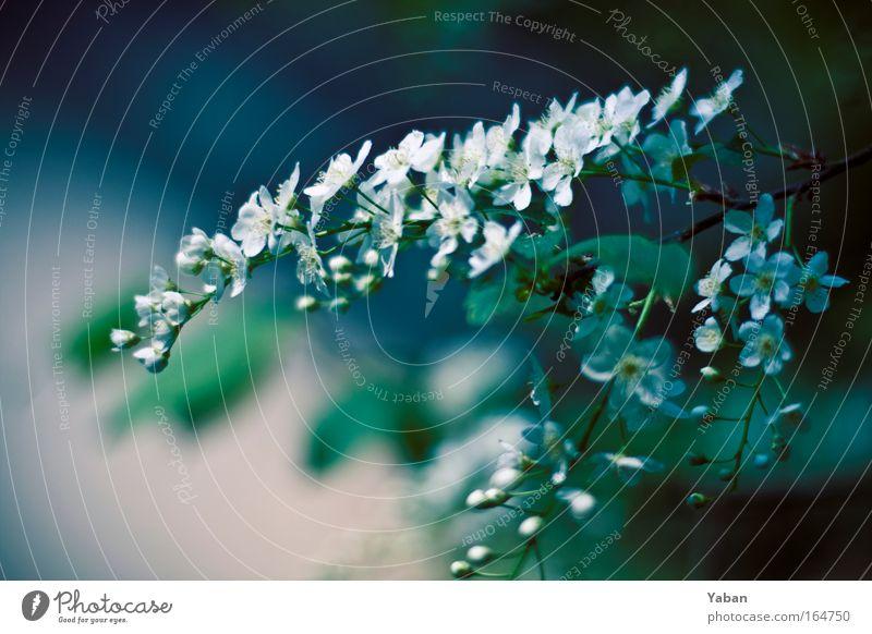Spring 2.0 Natur weiß grün schön Baum Pflanze Umwelt Frühling Blüte natürlich Wachstum authentisch ästhetisch Vergänglichkeit Blühend Duft