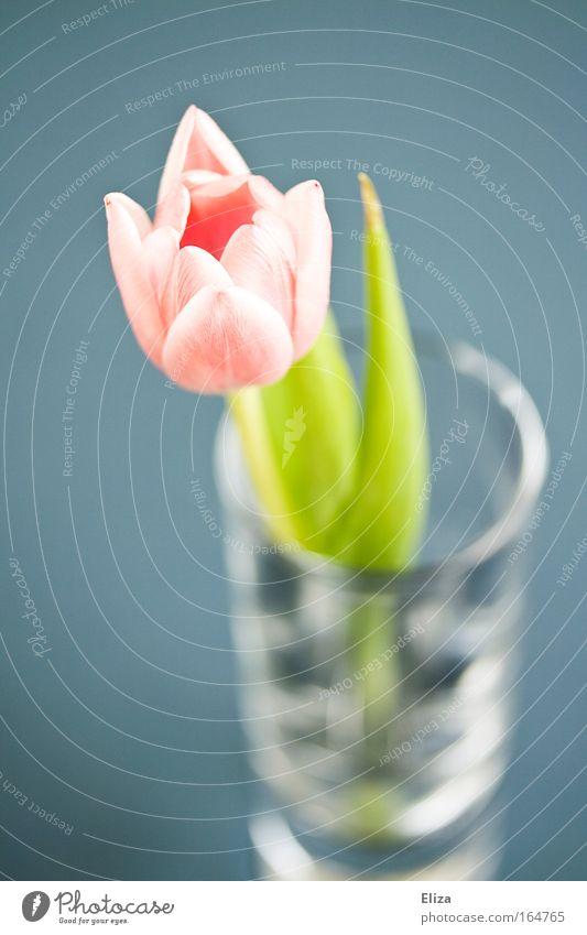 Tulpe Natur Blume blau Pflanze ruhig Frühling glänzend rosa Glas elegant ästhetisch Dekoration & Verzierung zart Idylle Duft