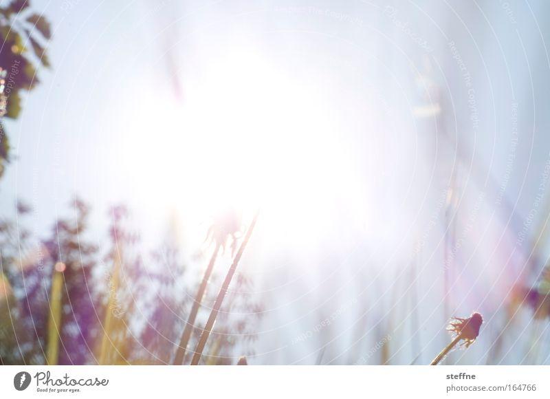 Pusteblumenexplosion Natur schön Sonne Pflanze Wiese Frühling Park Löwenzahn Schönes Wetter Blume Licht Frühlingsgefühle Wolkenloser Himmel