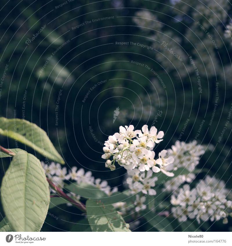 wilder flieder weiß Pflanze Blüte Frühling Park Sträucher zart Blühend Duft Farbe Zweige u. Äste Fliederbusch