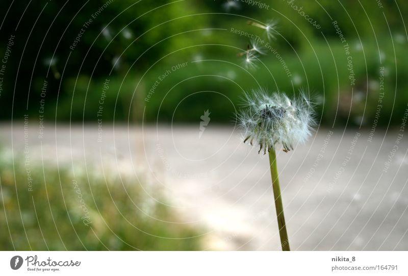 Pusteblume Natur weiß grün Pflanze Bewegung Freiheit Stimmung wandern Ausflug ästhetisch nah beobachten natürlich Gelassenheit Löwenzahn Freundlichkeit