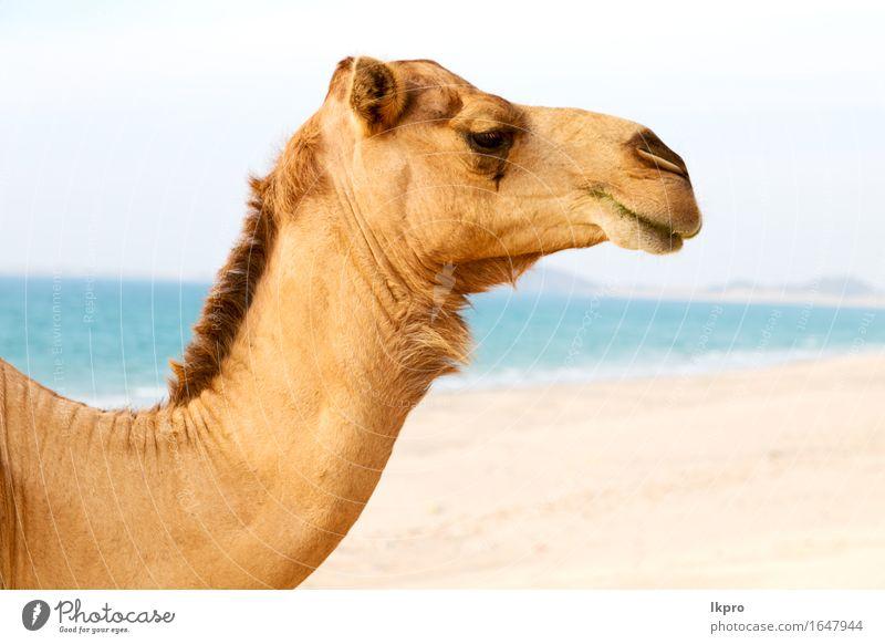 der Wüste ein freies Dromedar nahe dem Meer Essen Ferien & Urlaub & Reisen Tourismus Sommer Strand Natur Pflanze Tier Sand heiß wild braun grau schwarz weiß