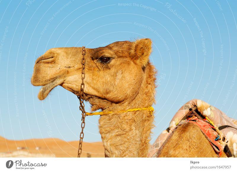 Oman leeres Viertel der Wüste ein freies Himmel Natur Ferien & Urlaub & Reisen Sommer weiß Wolken Tier Strand schwarz Gesicht gelb grau braun Sand Tourismus