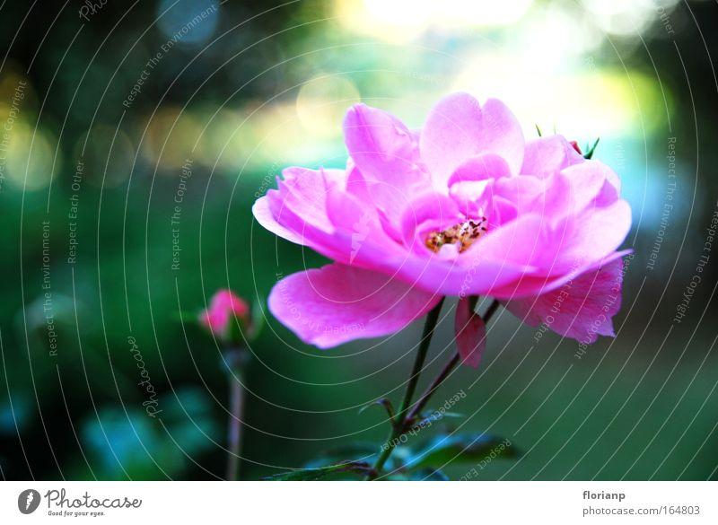 Das Blümlein im Frühling Natur schön Blume grün Pflanze ruhig Blüte rosa groß Fröhlichkeit ästhetisch nah authentisch gut Freundlichkeit