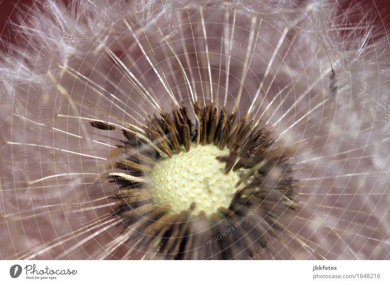 kurz vorm Samenflug Umwelt Natur Pflanze Baum Blume Blüte Löwenzahn Pollen fliegen Garten Park Wiese außergewöhnlich Unendlichkeit natürlich Unkraut