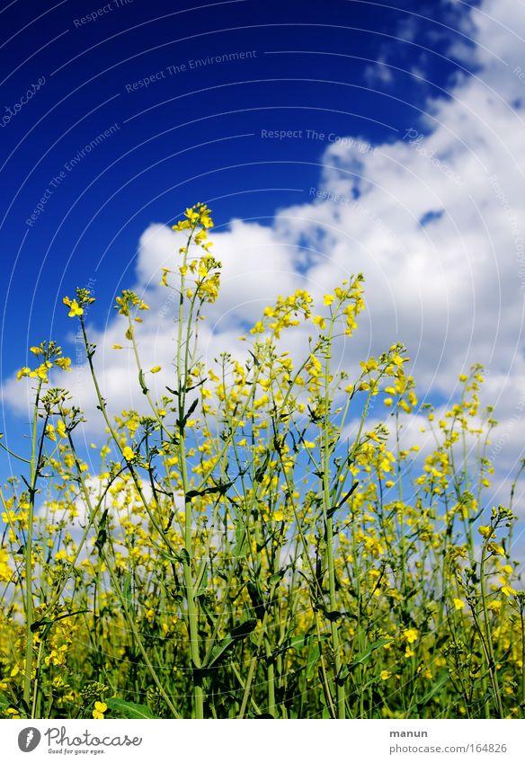 Rappes Himmel Natur Pflanze Wolken Umwelt Wärme Feld Lebensmittel Energiewirtschaft Zukunft Ernährung Schönes Wetter Landwirtschaft Wissenschaften Bioprodukte nachhaltig