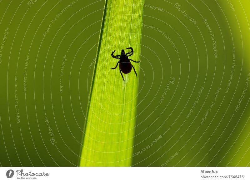 Noch ne Zecke. Tier 1 krabbeln trinken warten bedrohlich gruselig hässlich grün Angst Entsetzen gefährlich Blutsauger Borreliose FSME Krankheit