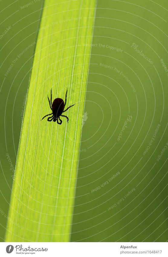Borreliose gefälligst ? Tier Zecke 1 krabbeln trinken warten bedrohlich Ekel gruselig hässlich klein grün Appetit & Hunger Durst Angst Entsetzen gefährlich FSME