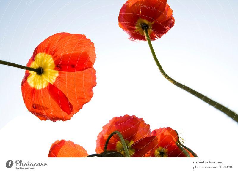 Sommer Natur weiß Sonne Blume Pflanze rot gelb Farbe Blüte elegant frisch Fröhlichkeit ästhetisch Freundlichkeit Wolkenloser Himmel