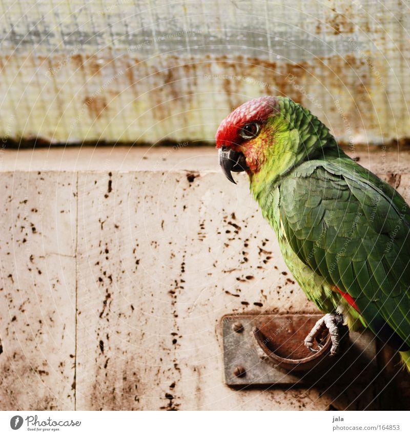 Jack Sparrow grün rot Tier Vogel sitzen Flügel Zoo Wildtier Papageienvogel