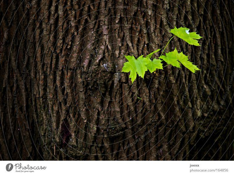 Nachwuchs Natur Baum grün Pflanze Blatt Baumstamm Frühling braun Umwelt Erfolg trist Baumrinde rebellisch Frühlingsgefühle giftgrün