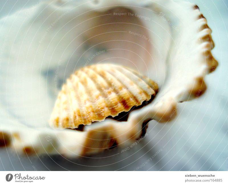 Sehnsucht nach dem Meer Natur braun klein Sicherheit authentisch Schutz natürlich Muschel Makroaufnahme Muschelschale Muschelform