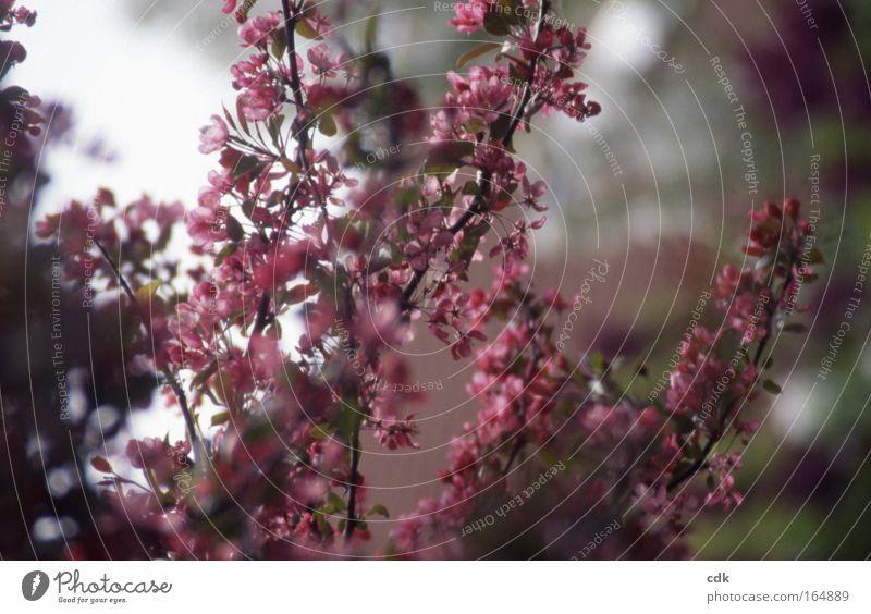 Zierblüte Farbfoto Außenaufnahme Menschenleer Morgen Schatten Unschärfe Schwache Tiefenschärfe Zentralperspektive Leben harmonisch Wohlgefühl Sinnesorgane Duft