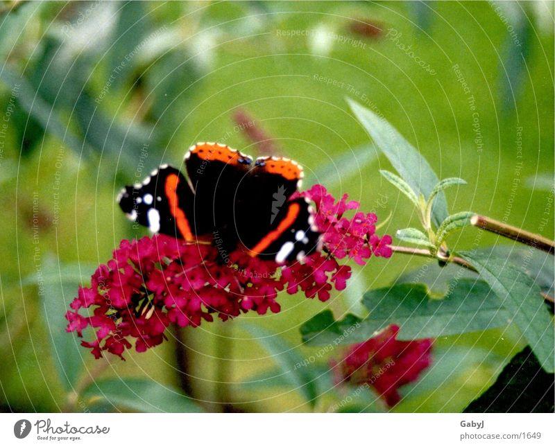 Admiral Schmetterling Insekt Metamorphose Flugtier flattern Staubfäden schmetterlingsflieder Nektar