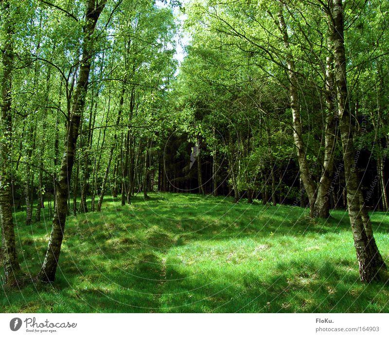 Ich glaub' ich steh im Wald Natur Baum grün Pflanze Sommer Gras Frühling hell Moos Schönes Wetter Waldlichtung Birke Wildpflanze