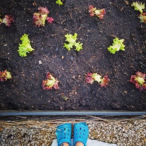 Salat anpflanzen Garten Gartenarbeit hochbeet Gärtner Schuhe Außenaufnahme Lebensmittel Ernährung Eigenanbau Ackerbau Aussaat grün