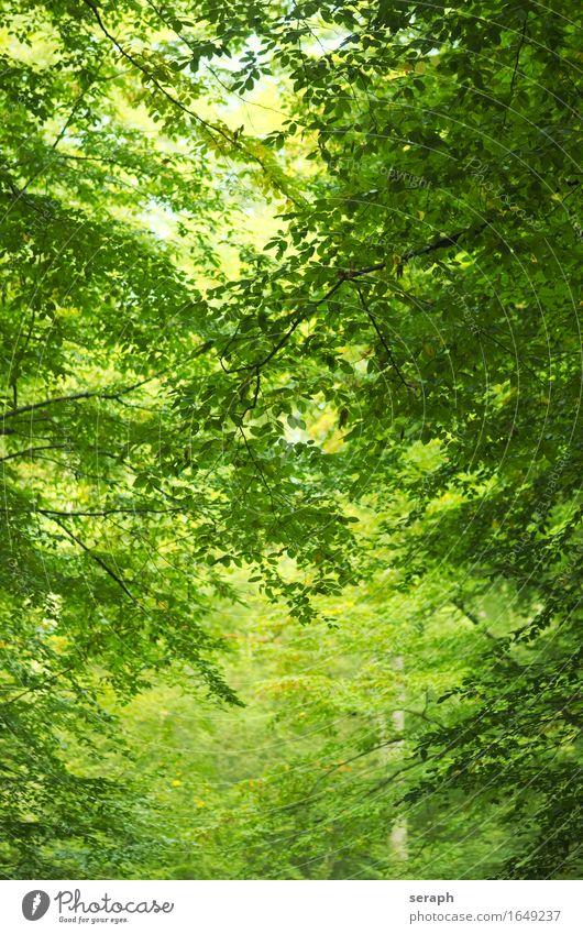 Buchenwald Baum Wald Baumstamm Zweig Ast Blatt Laubbaum Natur Umweltschutz Baumkrone Blätterdach grün Hintergrundbild Blattgrün Pflanze frisch Trieb Blattknospe