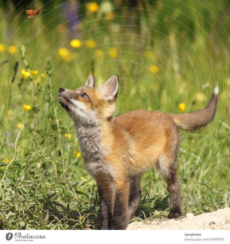 Netter Fuchswelpe, der Schmetterling sich kümmert Kind Natur Jugendliche Sommer rot Tier Wald Tierjunges Umwelt natürlich Spielen klein Schule wild frei Baby
