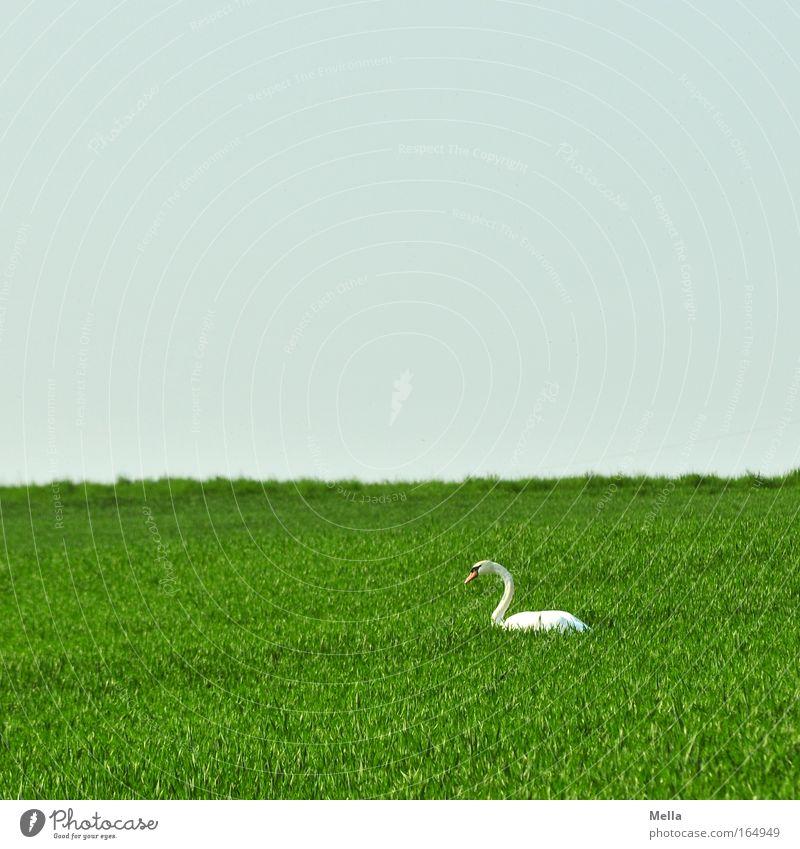 Schwanensee Farbfoto Außenaufnahme Menschenleer Textfreiraum oben Tag Totale Umwelt Pflanze Tier Himmel Wolkenloser Himmel Frühling Schönes Wetter Feld Wildtier