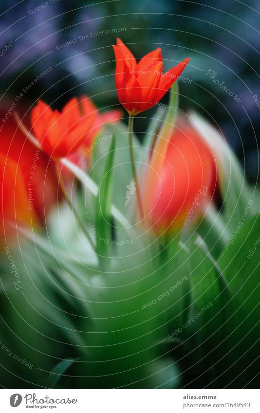 Dancing.Queen Natur rot Blatt Frühling Garten leuchten Ostern Jahreszeiten Tulpe Anmut