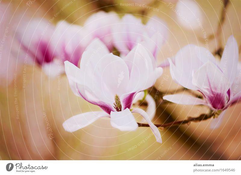 Magnolia Natur Farbe Baum Blume Blüte Frühling Garten offen Blühend Jahreszeiten rein Duft Blütenknospen sanft Magnoliengewächse Magnolienbaum