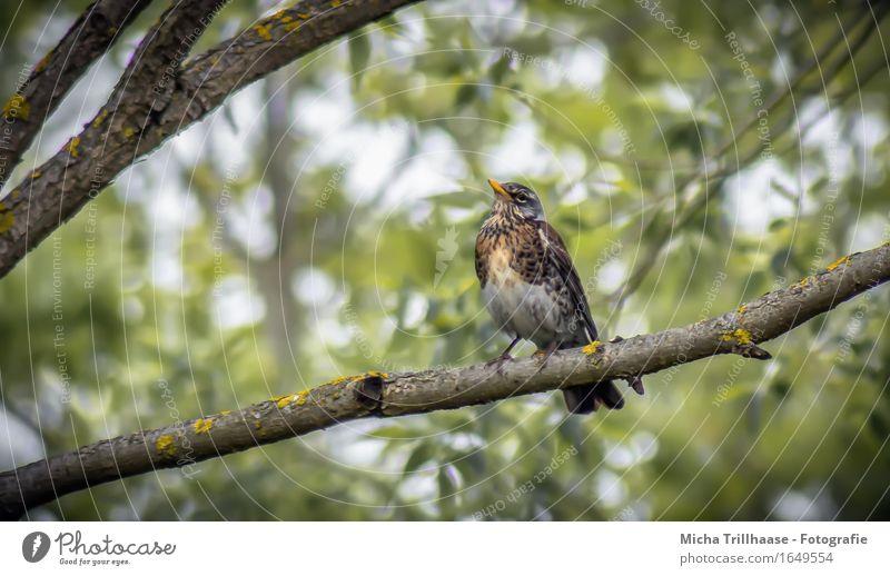 Drossel im Baum Natur Pflanze Blatt ruhig Tier Umwelt natürlich fliegen Vogel oben Zufriedenheit Wildtier sitzen Flügel beobachten