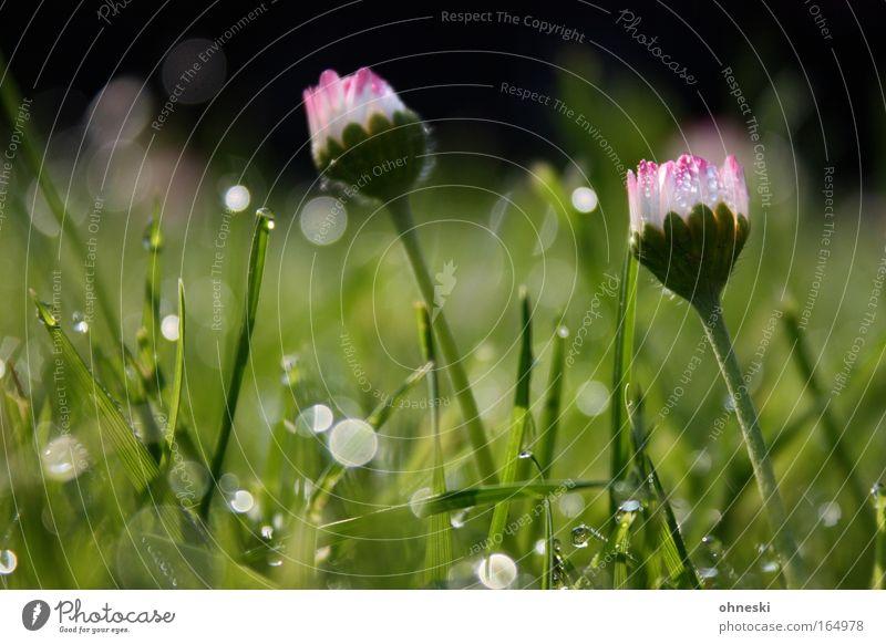 Morgentau Natur Pflanze grün schön Blume Gefühle Frühling Wiese Gras glänzend Zufriedenheit Erde ästhetisch Lebensfreude Warmherzigkeit Duft