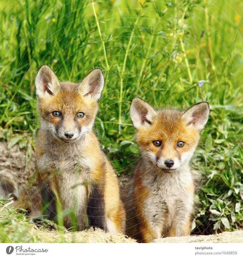 Rotfuchs Brüder schön Jagd Baby Familie & Verwandtschaft Kindheit Natur Tier Wald Pelzmantel Tierjunges Zusammensein klein natürlich niedlich wild braun rot