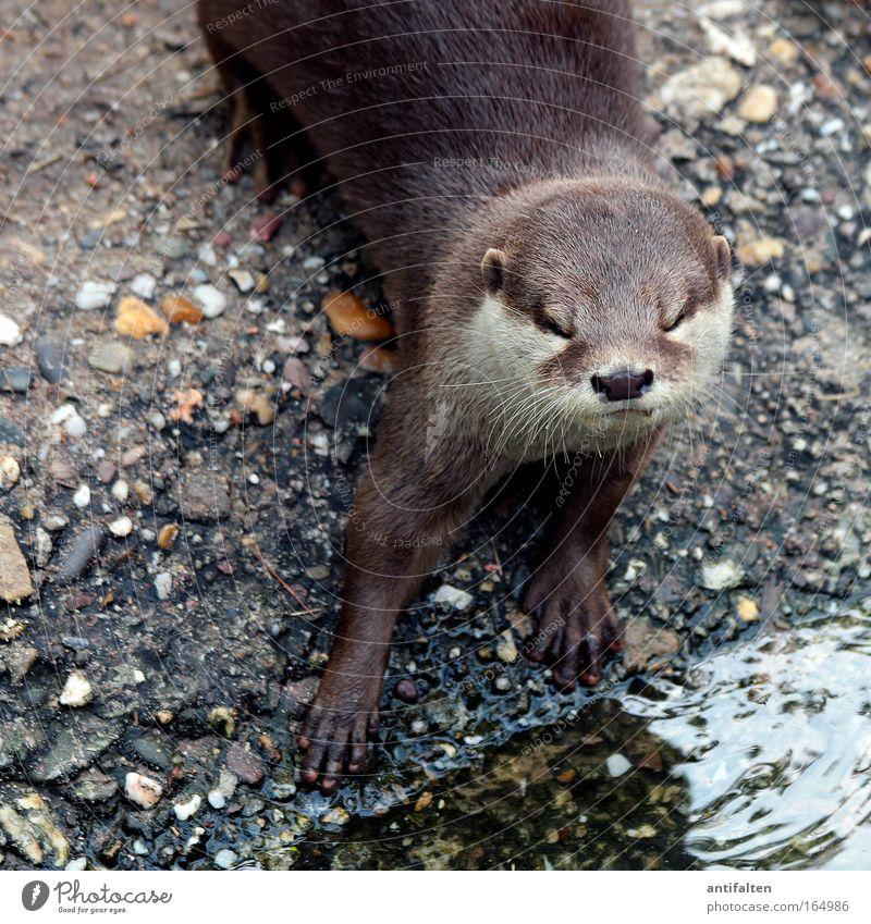 Der Otter Tier Wildtier Tiergesicht Fell Pfote Zoo 1 Stein Sand Wasser Blick ästhetisch Coolness elegant glänzend listig natürlich Neugier braun grau Tatkraft