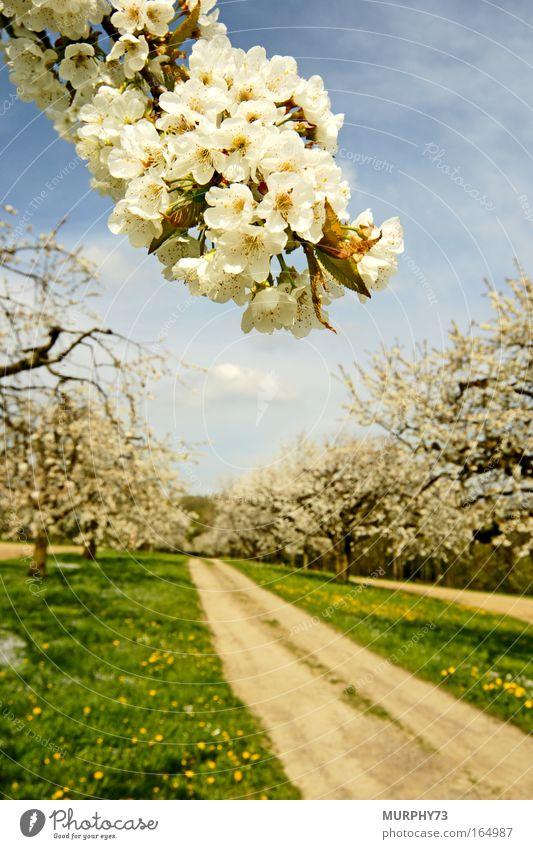 Die Kirschbäume blühen..... Natur Himmel weiß Baum grün blau Pflanze Blüte Frühling Wege & Pfade Landschaft Umwelt Obstbaum ästhetisch Unendlichkeit