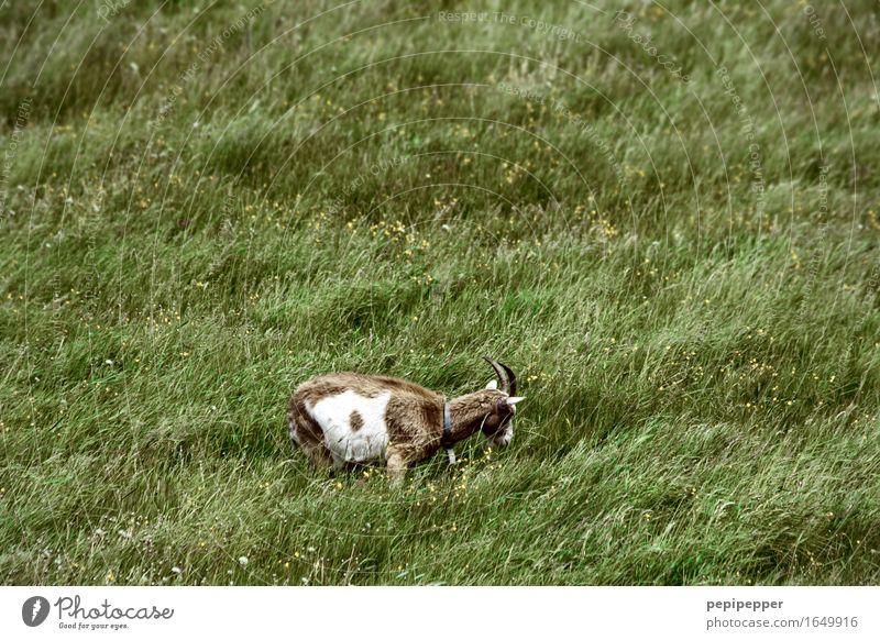 RasenMÄÄÄHer Natur Sommer Pflanze Gras Wiese Tier Nutztier Tiergesicht Fell Streichelzoo Ziegen 1 Fressen grün Farbfoto Außenaufnahme Menschenleer Tag