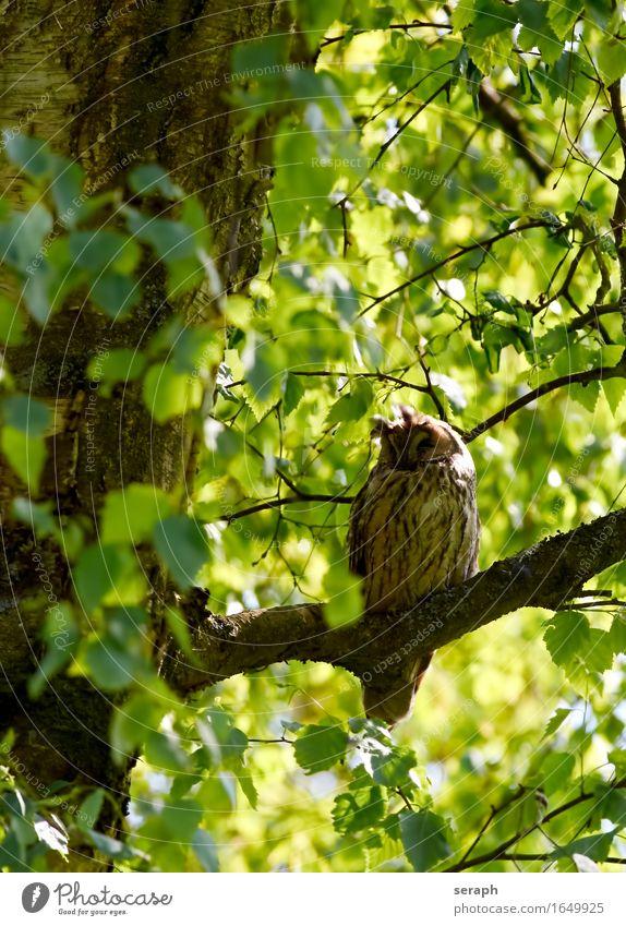 Dösen Halbschlaf schlafen Waldohreule Eulenvögel Greifvogel Vogel Natur Baum Ast Feder Wildtier Blatt Baumkrone Weisheit Symbole & Metaphern Flügel sitzen