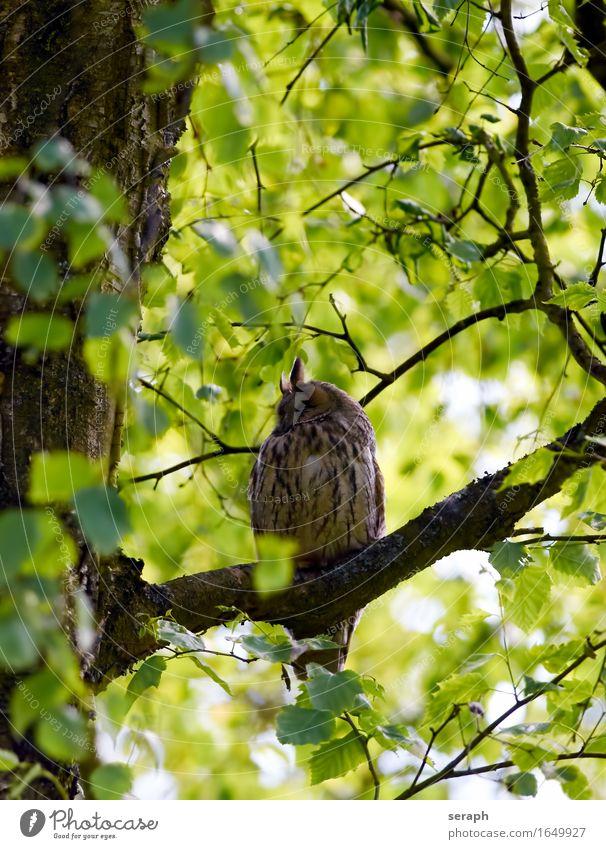 Waldohreule Halbschlaf schlafen Eulenvögel Greifvogel Vogel Natur Baum Ast Feder Wildtier Blatt Baumkrone Weisheit Symbole & Metaphern Flügel sitzen Tierschutz