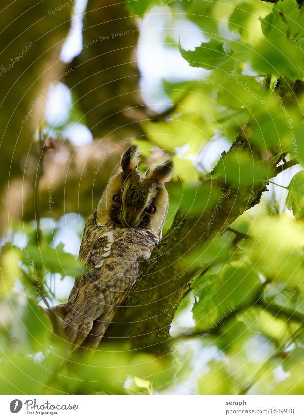 Waldohreule Natur Baum Blatt Tier Umwelt klein Vogel Wildtier sitzen Feder Flügel beobachten Ast Zweig Umweltschutz