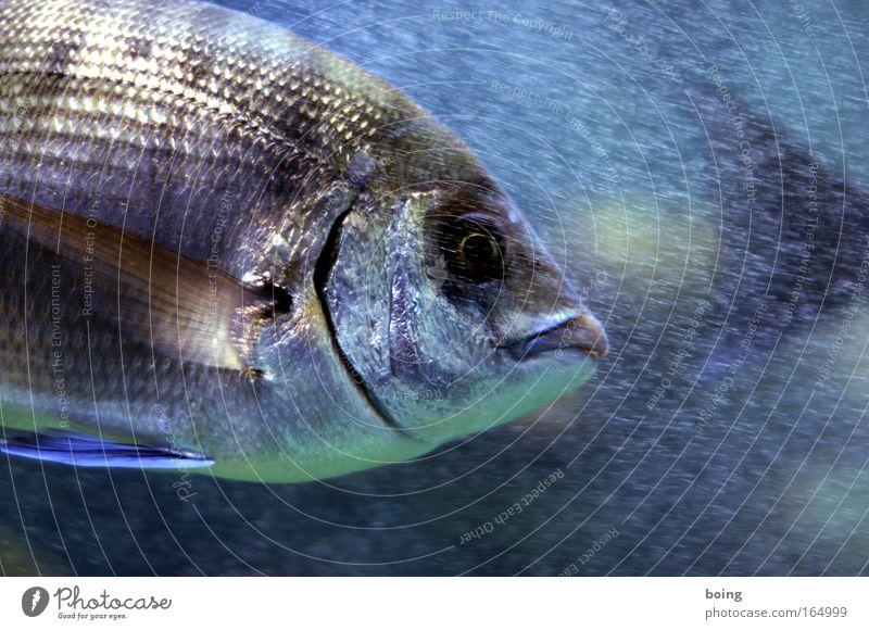 Freitagsfisch Unterwasseraufnahme Hintergrund neutral Bewegungsunschärfe Fischauge Lebensmittel Spanische Küche tauchen Wellen Küste Riff Meer Atlantik Wildtier