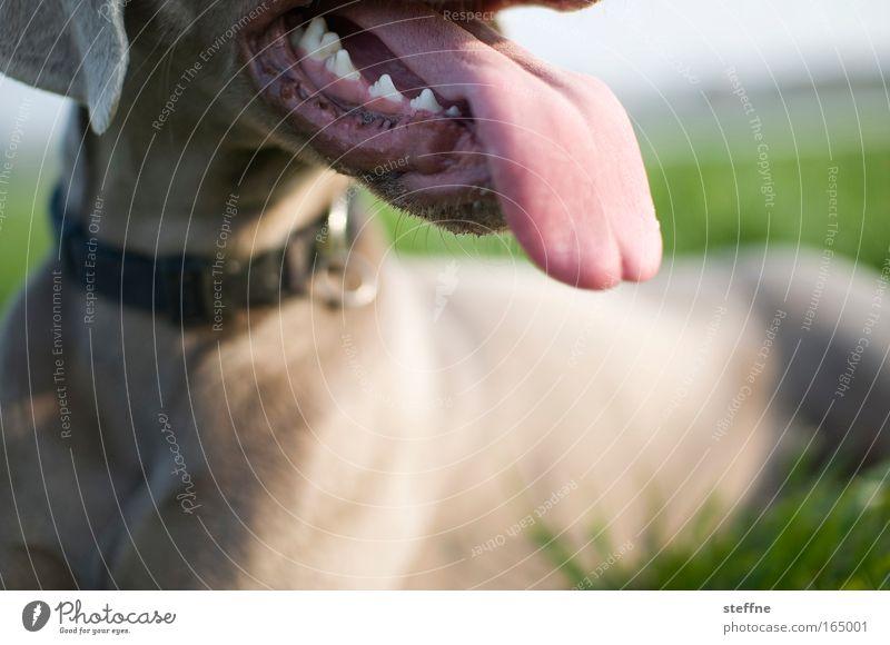 Leck mich! Tier Erholung Hund Gebiss liegen atmen Haustier Zunge Jagdhund