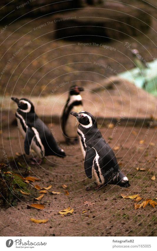 flossentaucher Natur weiß Blatt schwarz Tier Sand Zufriedenheit laufen Erde Tiergruppe wild Zoo niedlich Aquarium exotisch Stolz