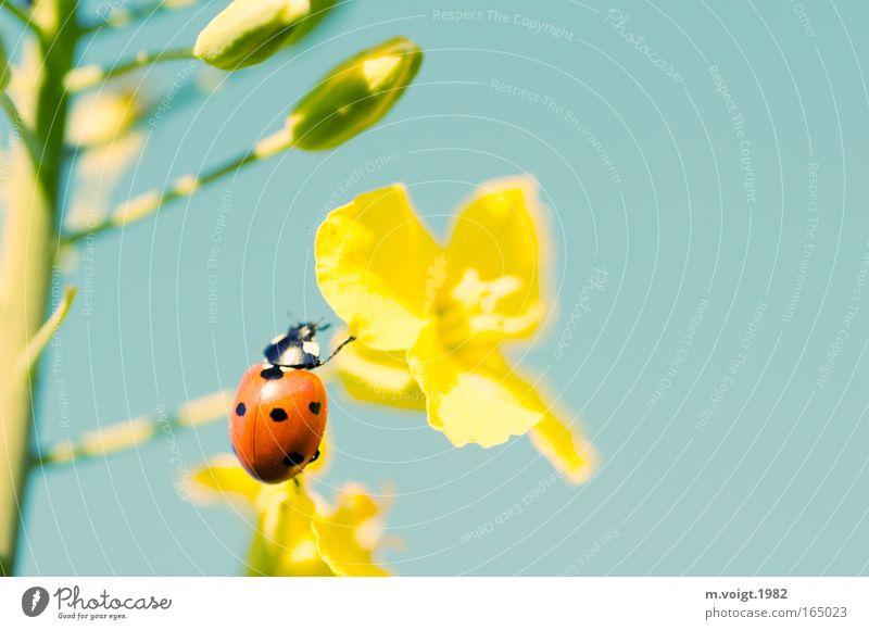 Marienkäfer III Farbfoto Nahaufnahme Detailaufnahme Makroaufnahme Textfreiraum rechts Sonnenlicht Starke Tiefenschärfe Natur Pflanze Tier Wolkenloser Himmel