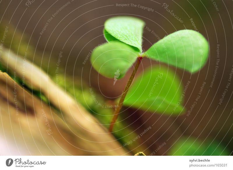 wenn ich diesen klee seh ... Natur Baum grün Pflanze Leben Glück braun Kraft 3 geschlossen frisch Hoffnung Wachstum Ast zart Idylle