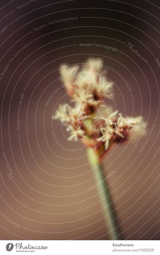 \ Natur Pflanze Frühling Sommer Gras Blüte Blühend natürlich braun grün Binsen Wasserpflanze Farbfoto Außenaufnahme Nahaufnahme Detailaufnahme Makroaufnahme