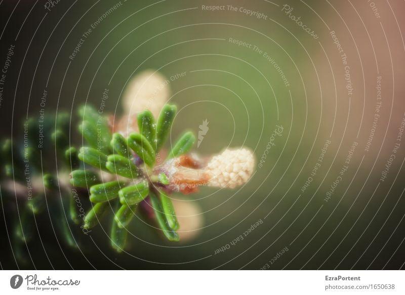 TZ mit Natur Weihnachten & Advent Pflanze Sommer grün Baum Wald Blüte Frühling natürlich braun Samen Tanne Tannennadel Tannenzweig Adventskranz