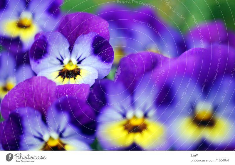 zweite Reihe Blume Pflanze Sommer Blüte Frühling Frühlingsgefühle Topfpflanze Stiefmütterchen Stiefmütterchenblüte