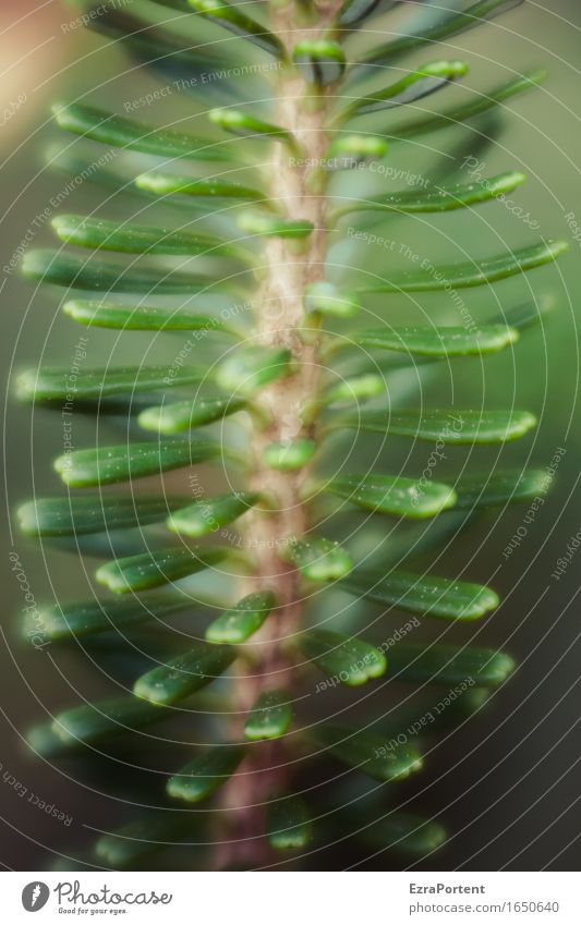 TZ Natur Pflanze schön grün Baum Wald natürlich braun Zweig Tanne Nadelbaum Tannennadel Tannenzweig Naturwuchs