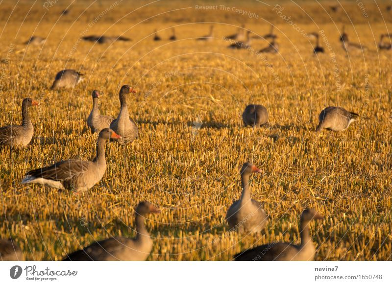 Versammlung Tier Nutztier Wildtier Gans Tiergruppe Schwarm Fressen füttern braun ruhig nachhaltig Team Gänseplage Feld Farbfoto Außenaufnahme Menschenleer