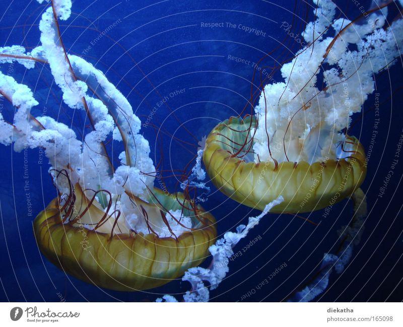 Brennnesseln Farbfoto Unterwasseraufnahme Tierporträt Wasser Meer Qualle Aquarium 2 beobachten Ekel elegant nass schleimig schön blau ruhig Angst gefährlich