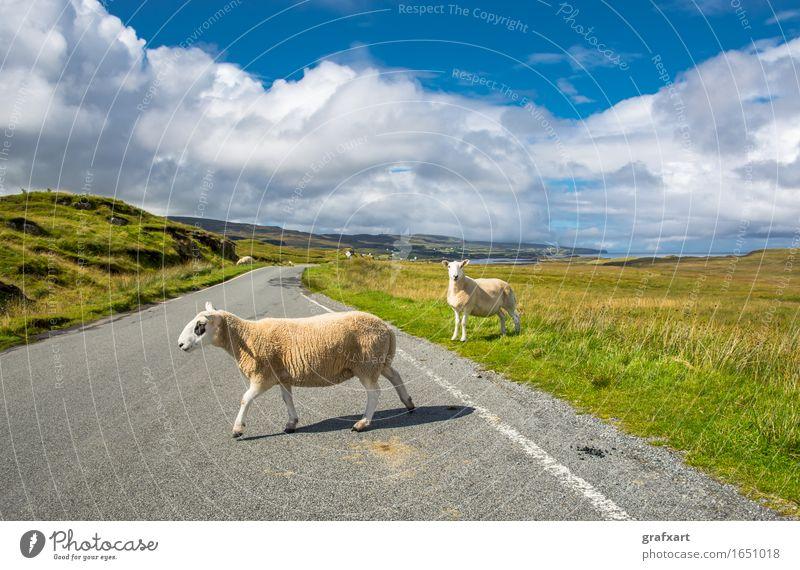 Schafe auf Straße in Schottland Straßenverkehr Störung Verkehr weich Freiheit Freizeit & Hobby friedlich gehen Großbritannien Herde Isle of Skye kuschlig Lamm