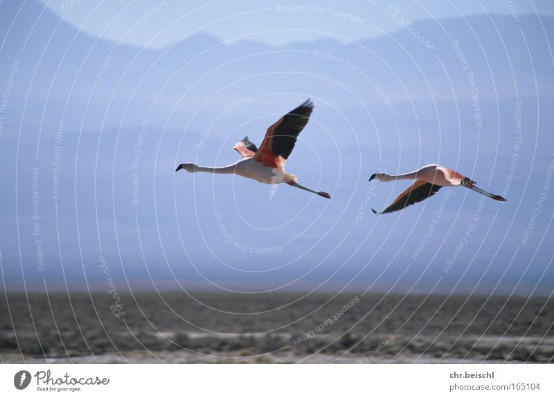 Flamingos im Flug Farbfoto Außenaufnahme Menschenleer Tag Sonnenlicht Bewegungsunschärfe Zentralperspektive Tier Wildtier Vogel Flügel 2 Tierpaar fliegen