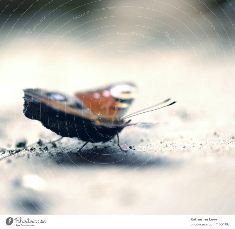 blue ray Natur schön blau rot Einsamkeit Tier grau Feld rosa Erde ästhetisch Romantik Flügel natürlich Schmetterling Wildtier